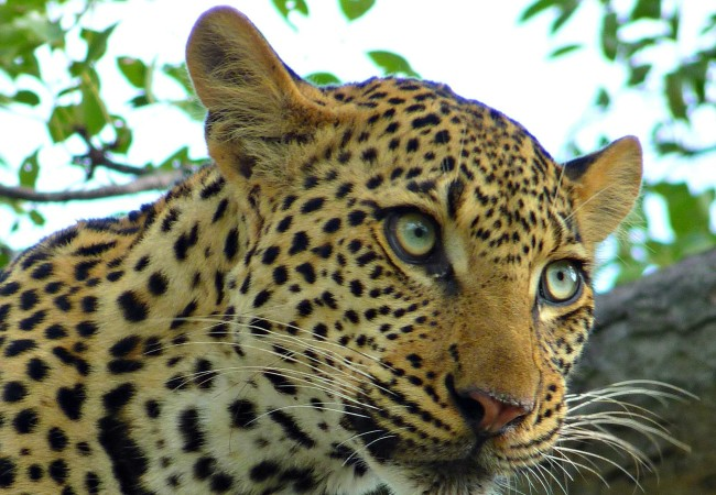 PHOTO OF THE WEEK:  THAT LEOPARD IN KRUGER