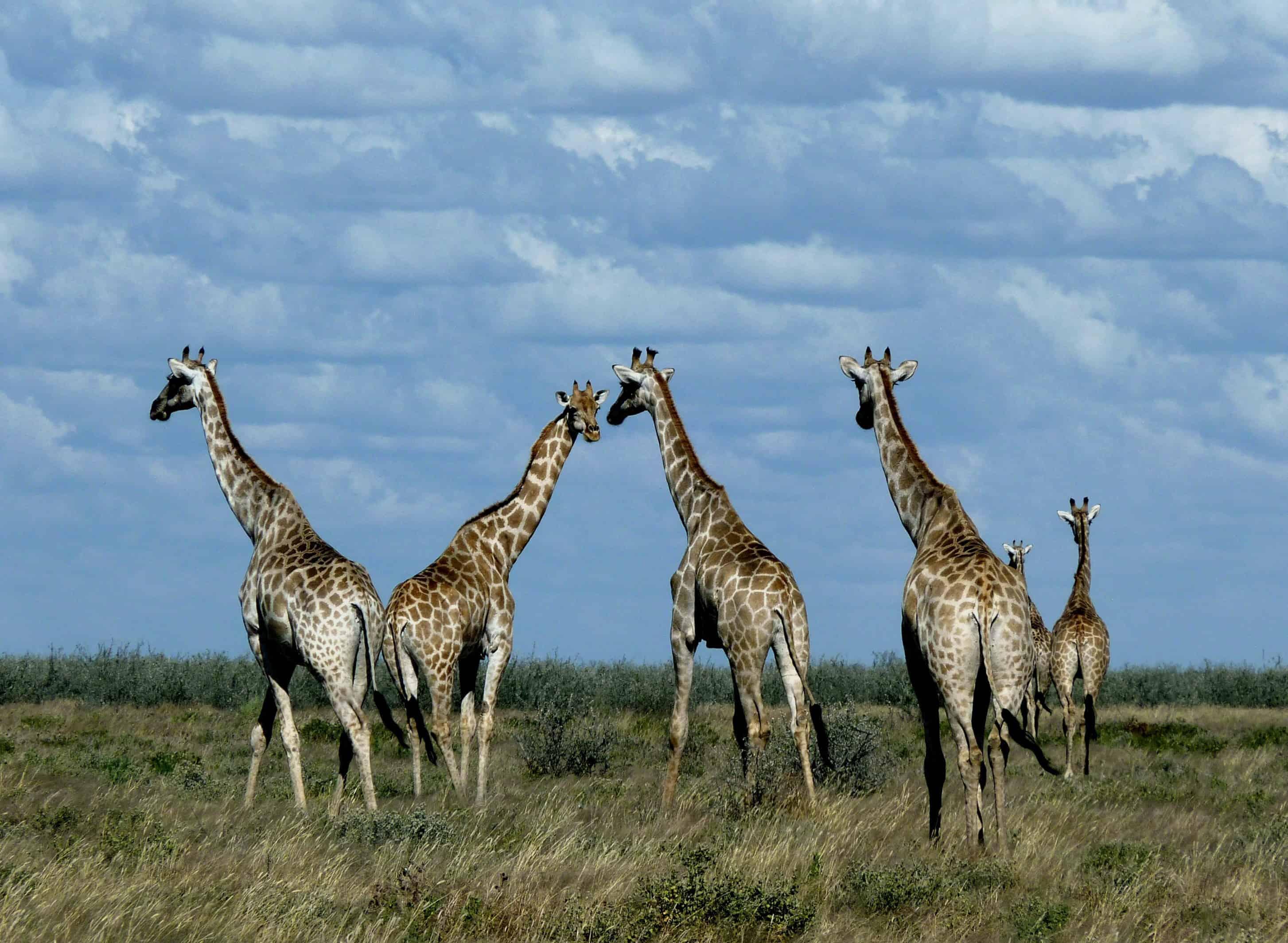 Etosha National Park - Giraffes