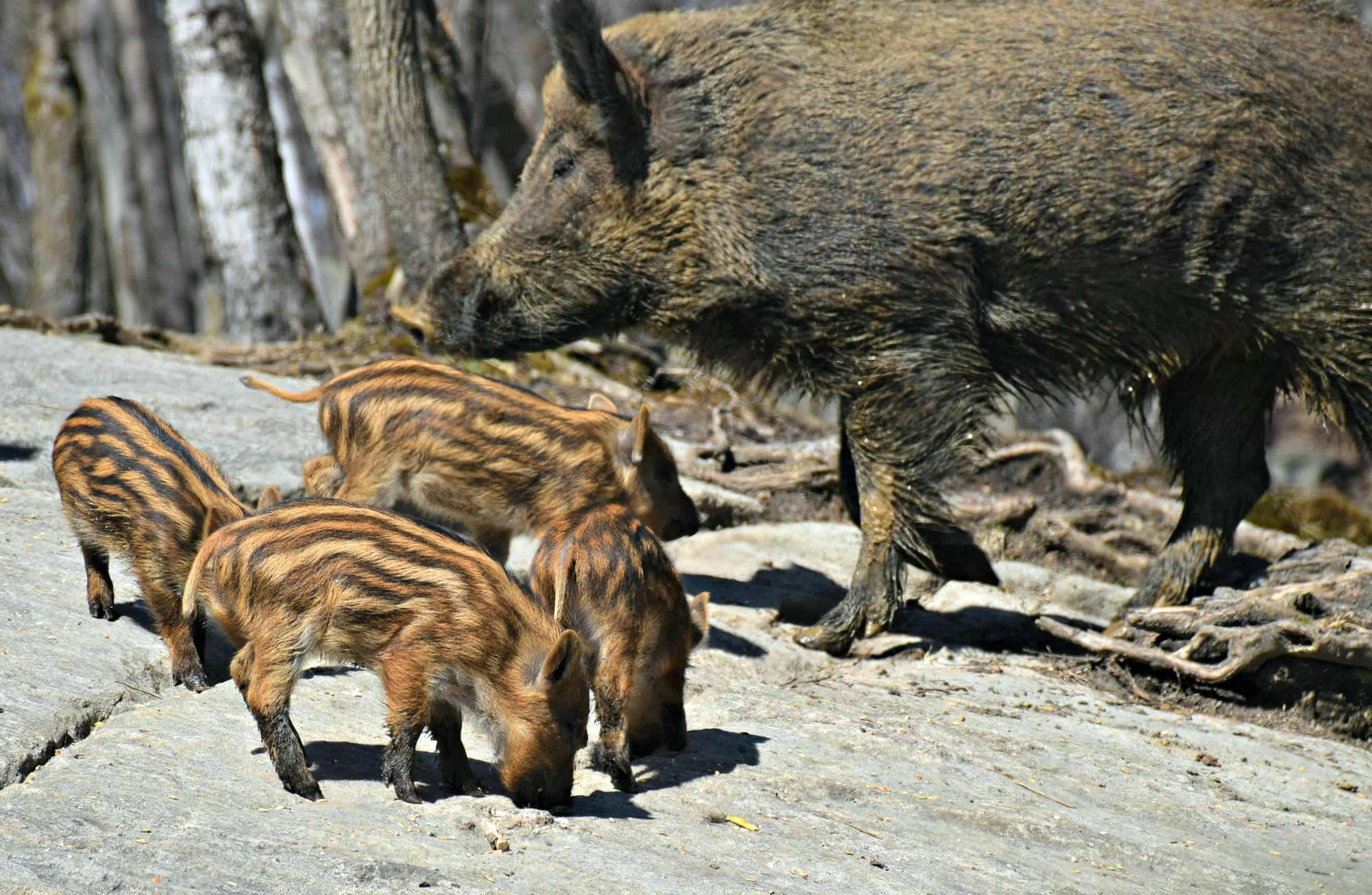 Wild Boar, Parc Omega