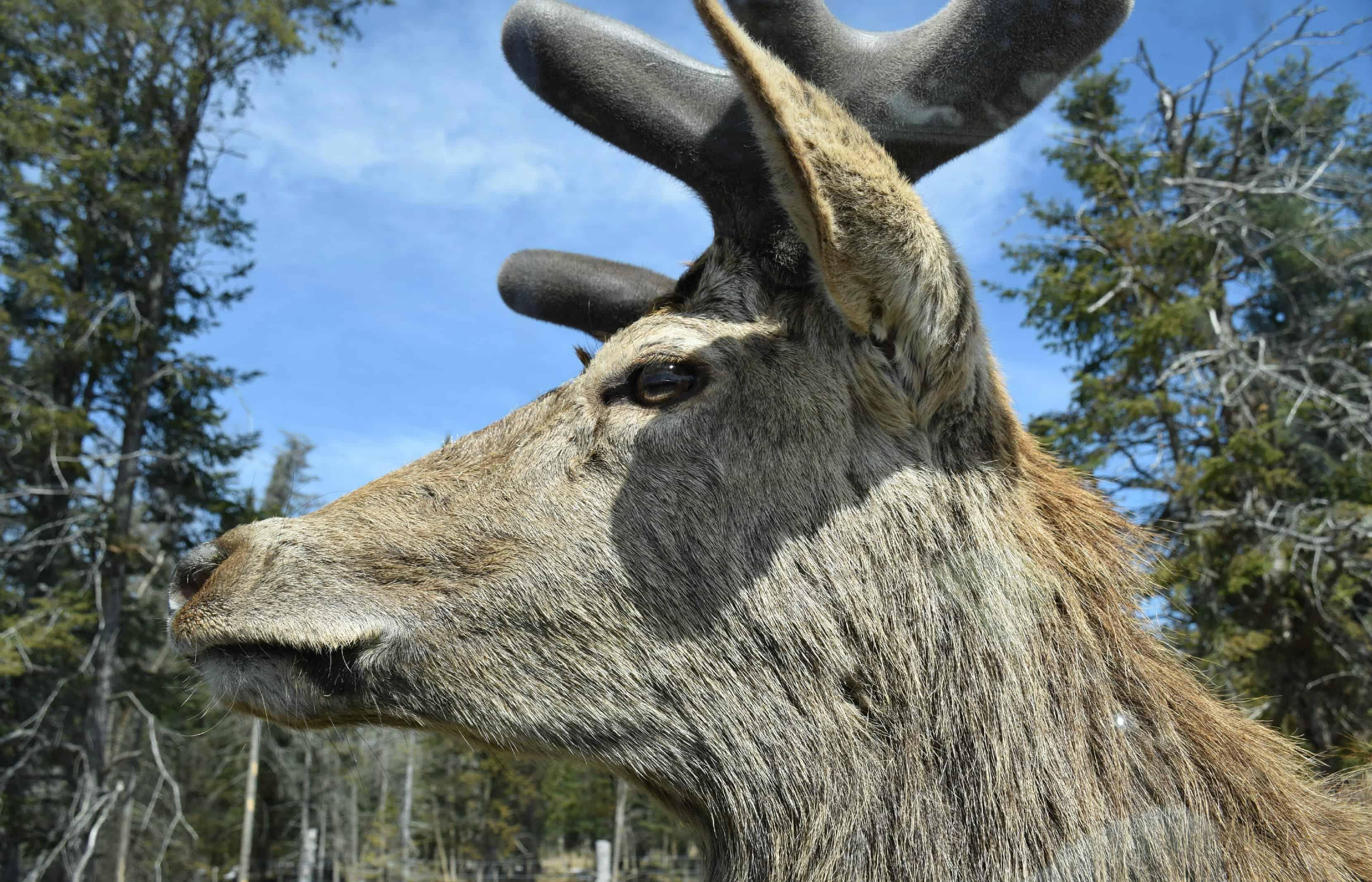 Moose, Parc Omega