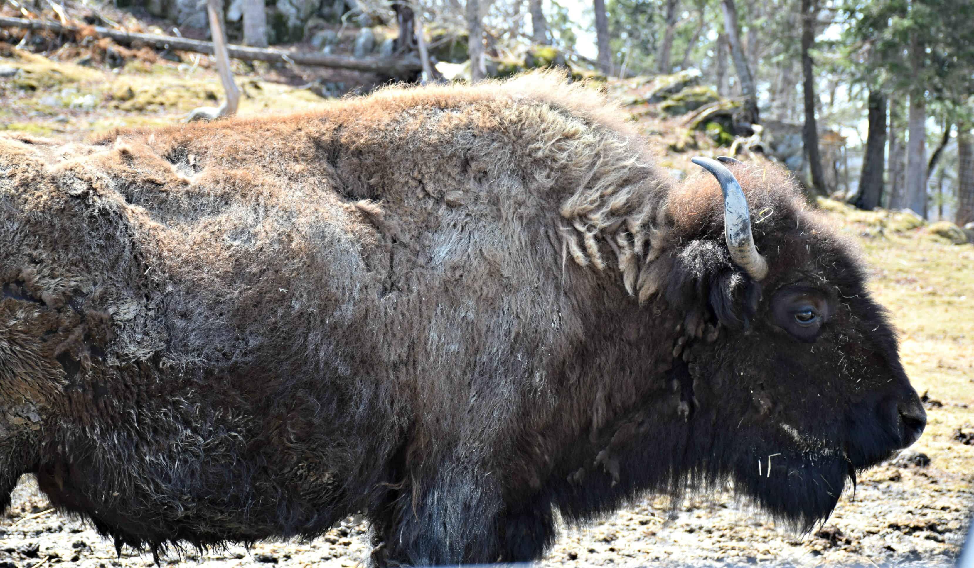 Bison, Parc Omega