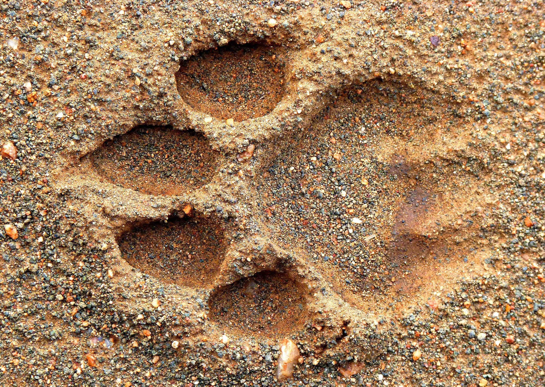 Lion Print, Kruger National Park, South Africa
