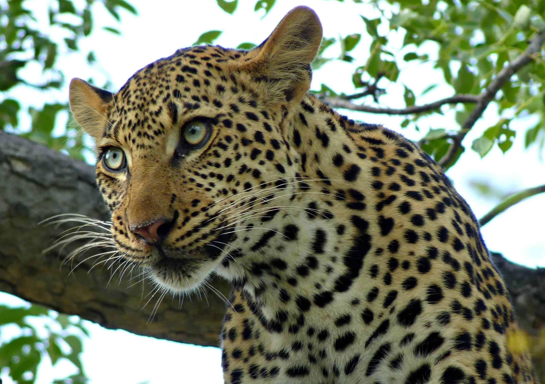 Leopard, Krugar National Park, South Africa