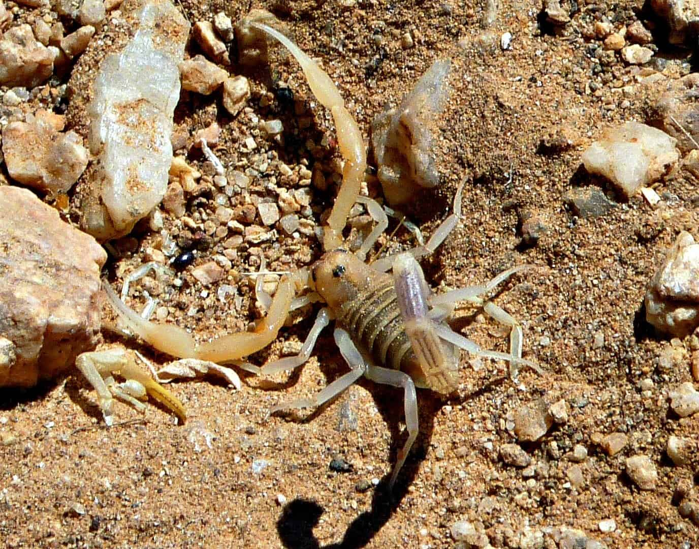 Scorpion, Etosha National Park