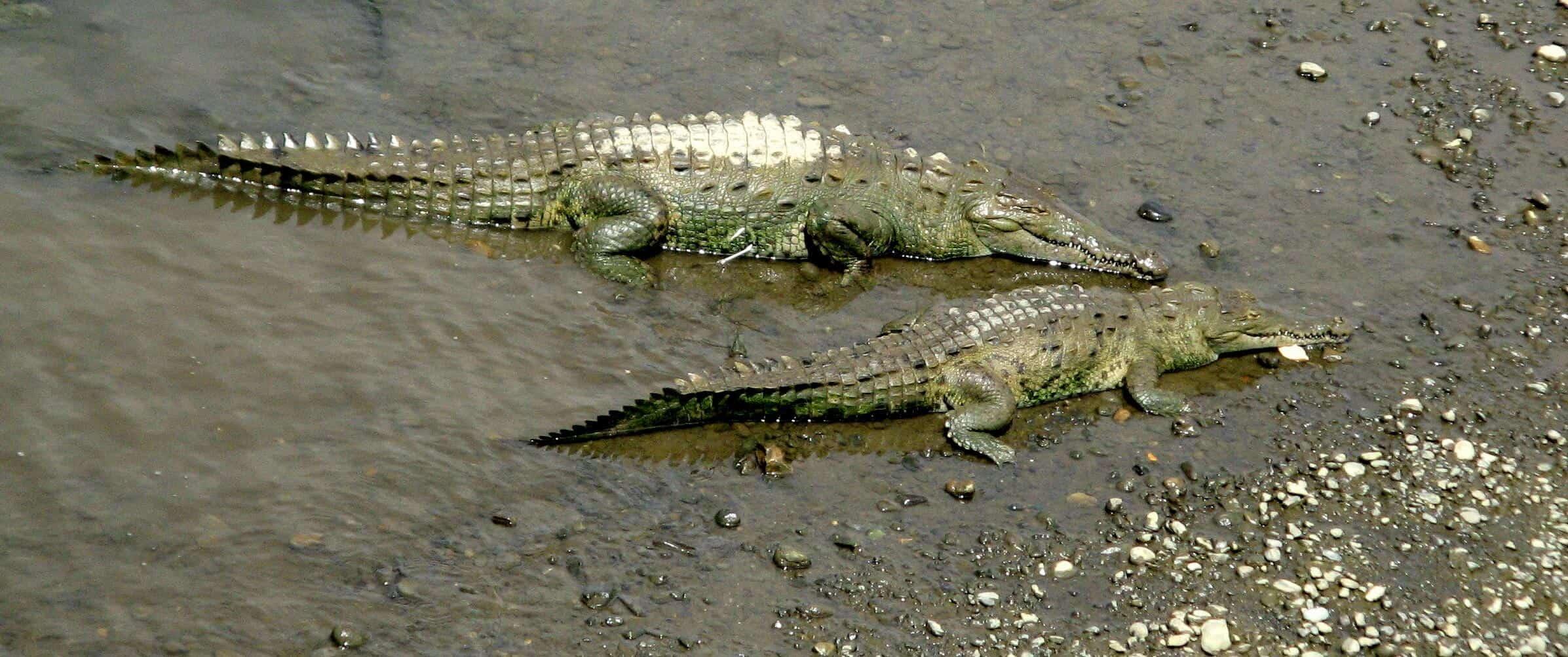 Crocs in Costa Rica