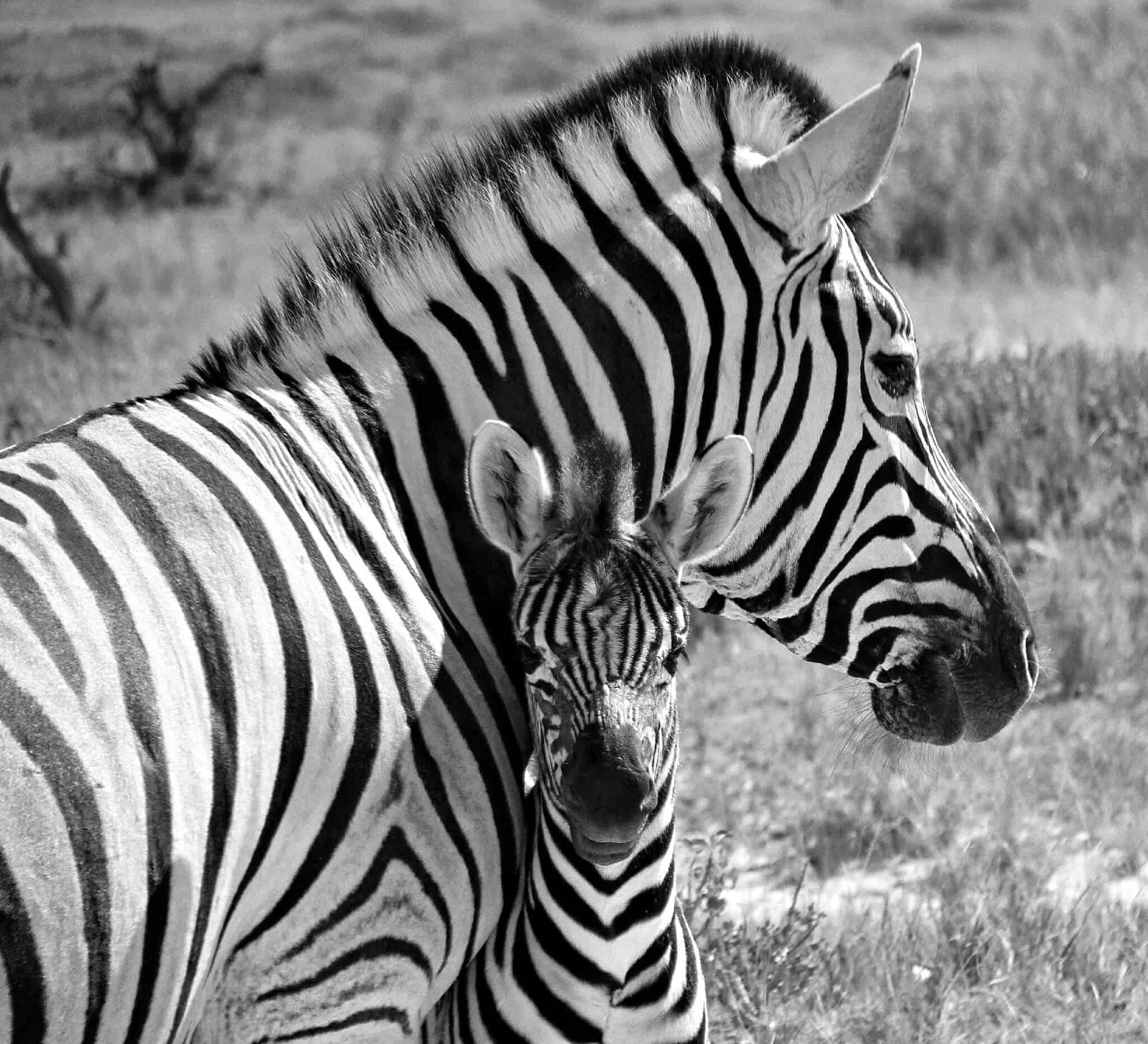 Zebra and Baby, Namibia