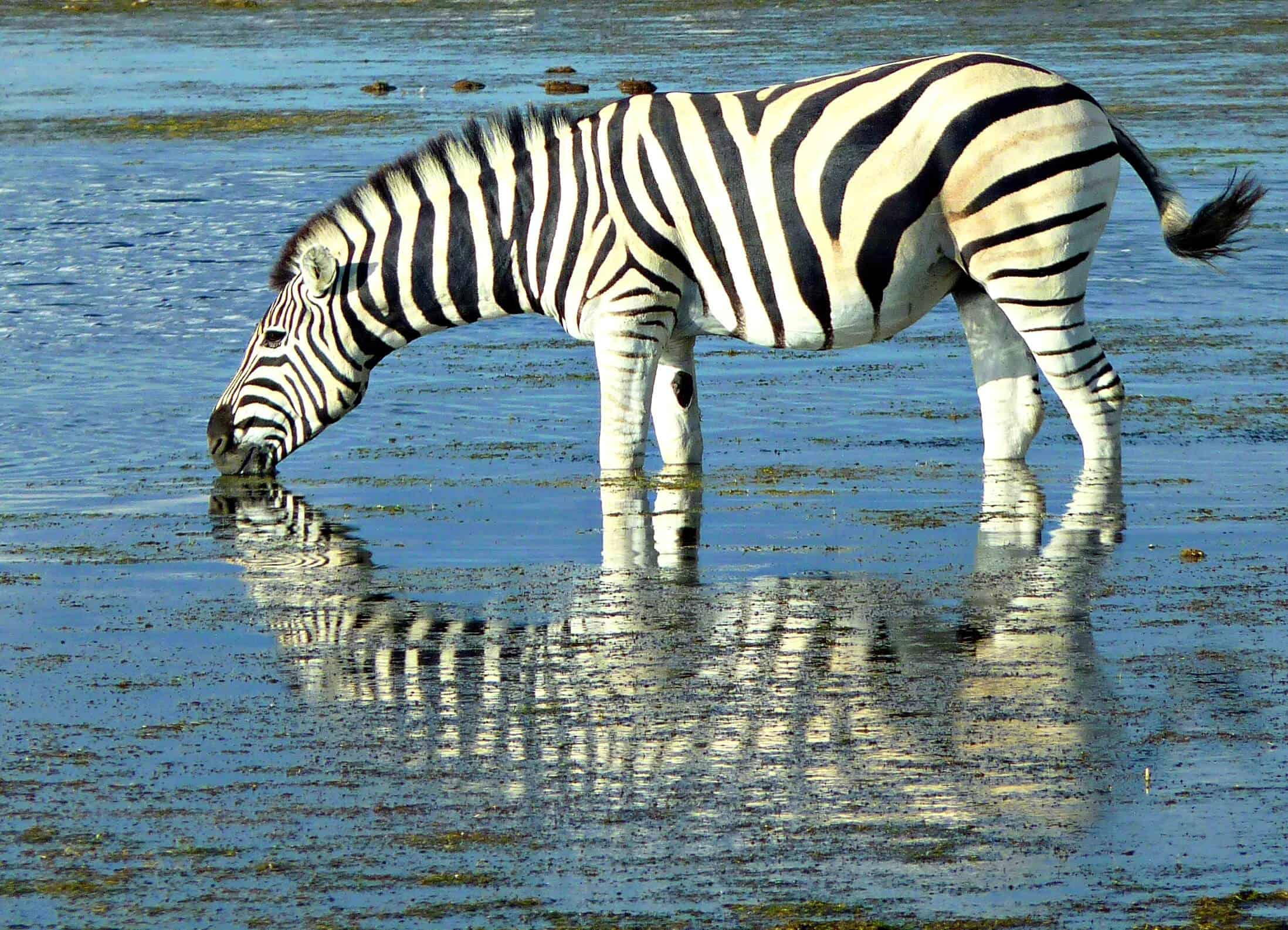 Zebra Reflection, Namibia