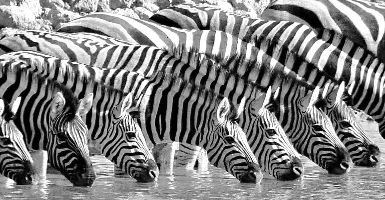 Zebras, Namibia
