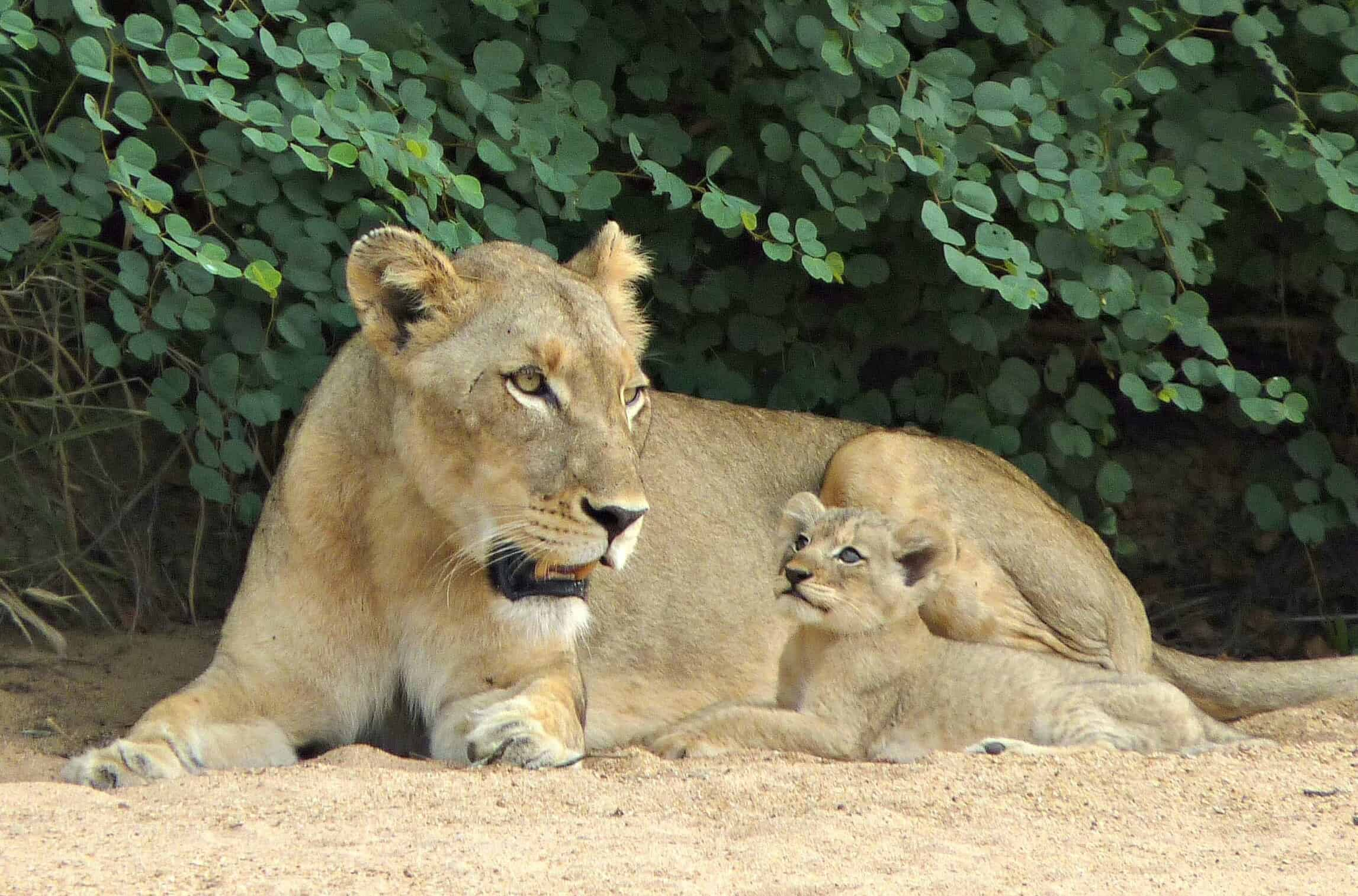 Lion & Cub, Kruger National Park