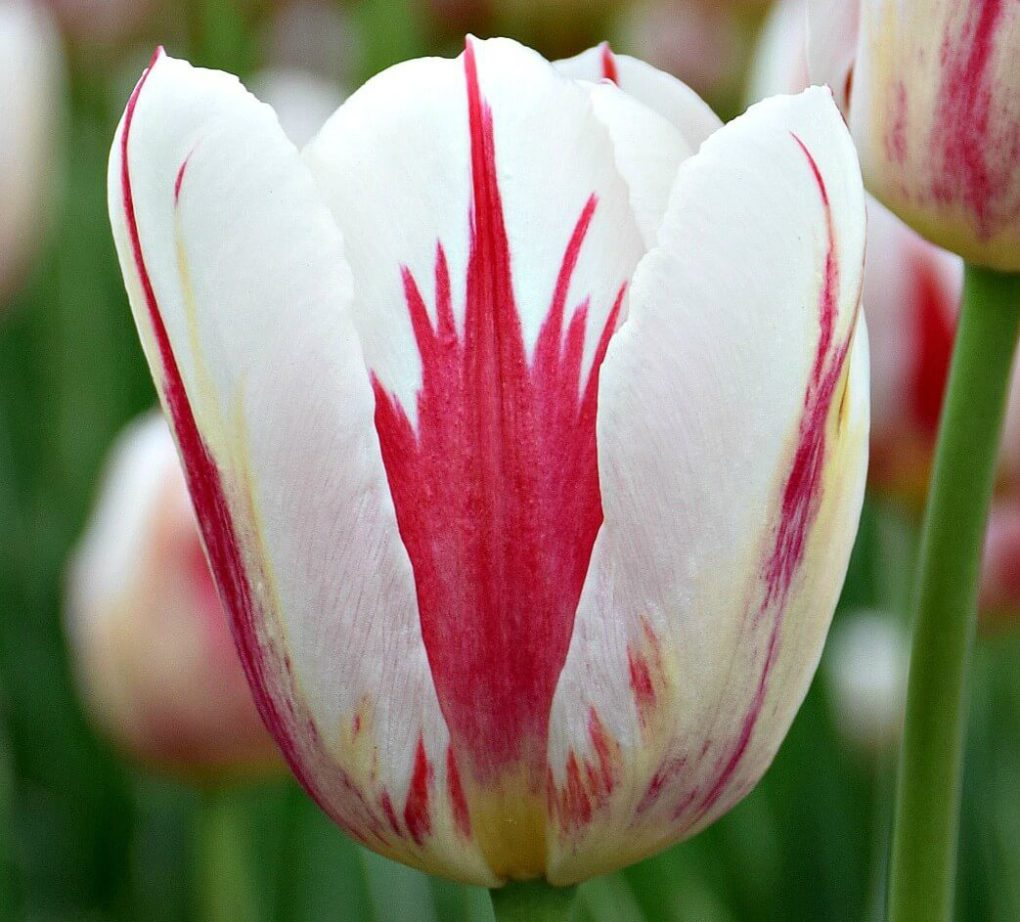 6 REASONS TO VISIT THE CANADIAN TULIP FESTIVAL IN OTTAWA