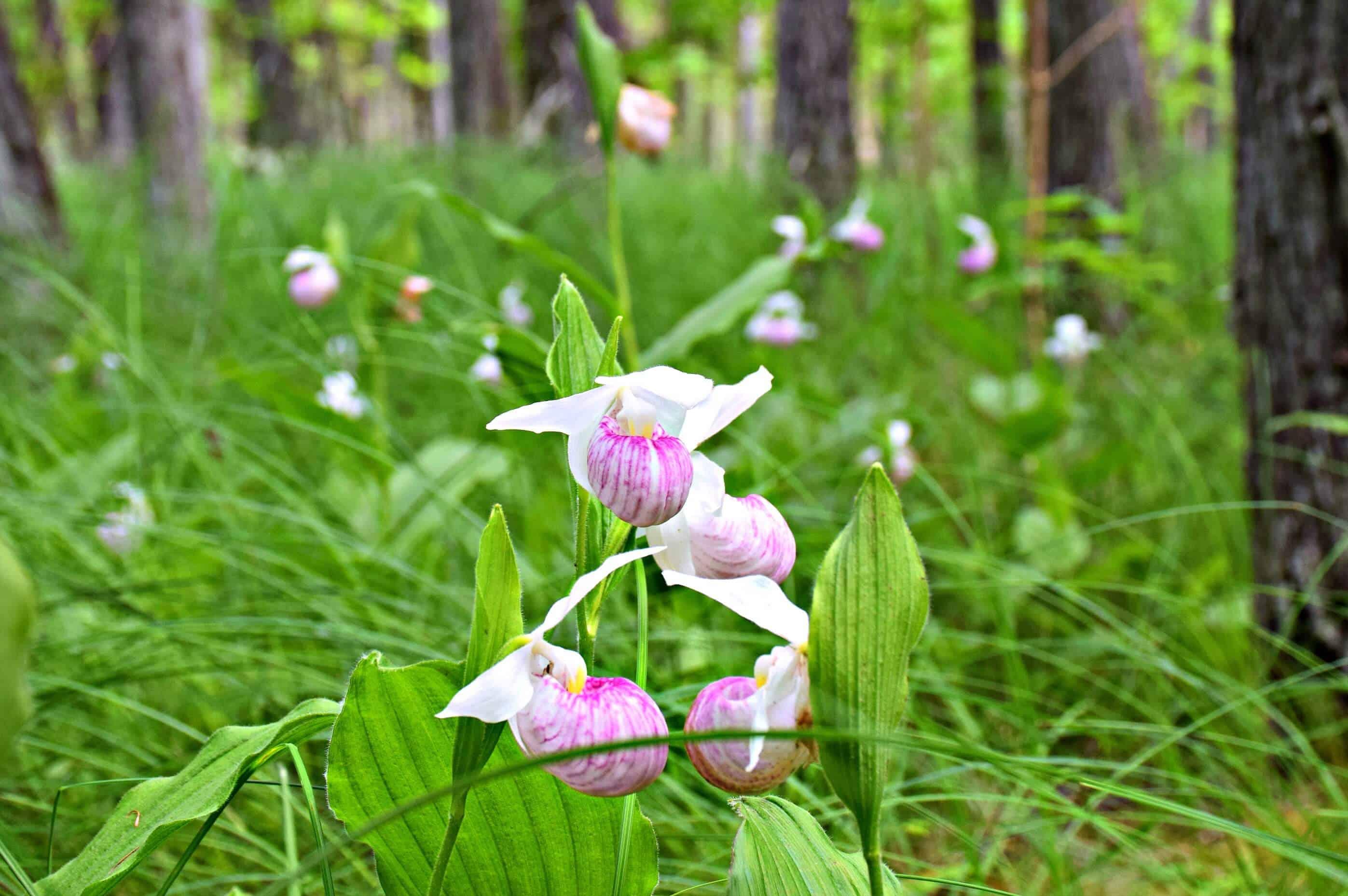Orchids, Purdon Conservation Area