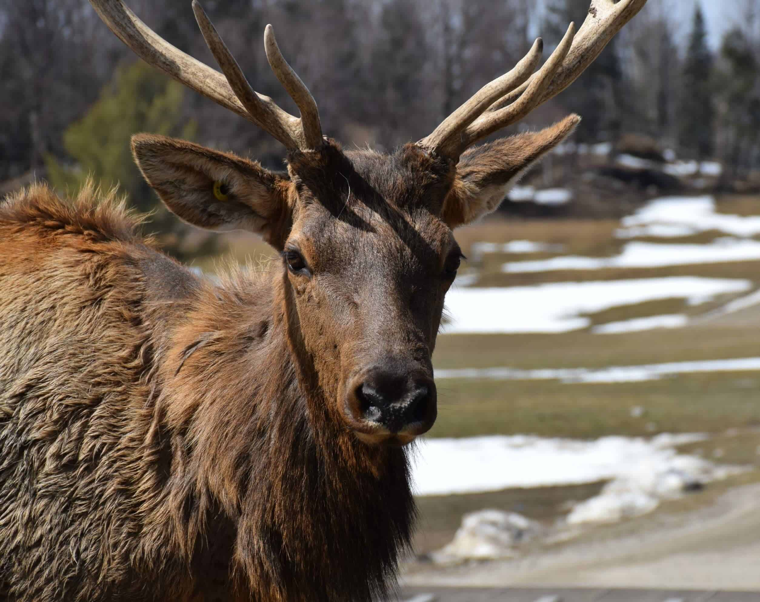 Elk, Omega Park, Quebec