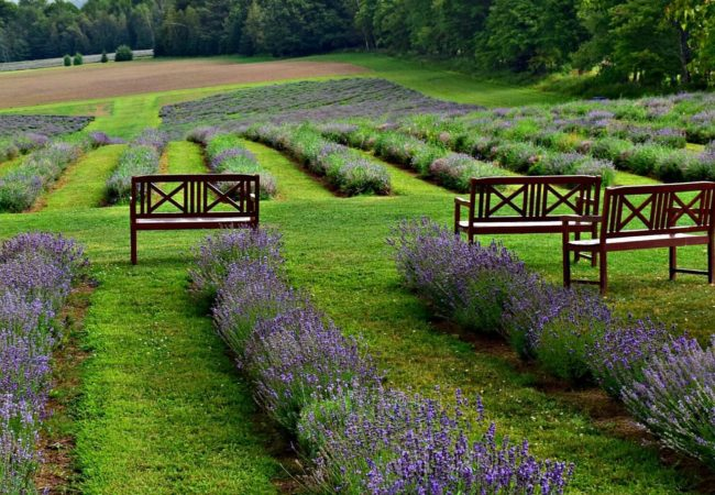 FINDING LAVENDER BLISS IN A SURPRISING PLACE