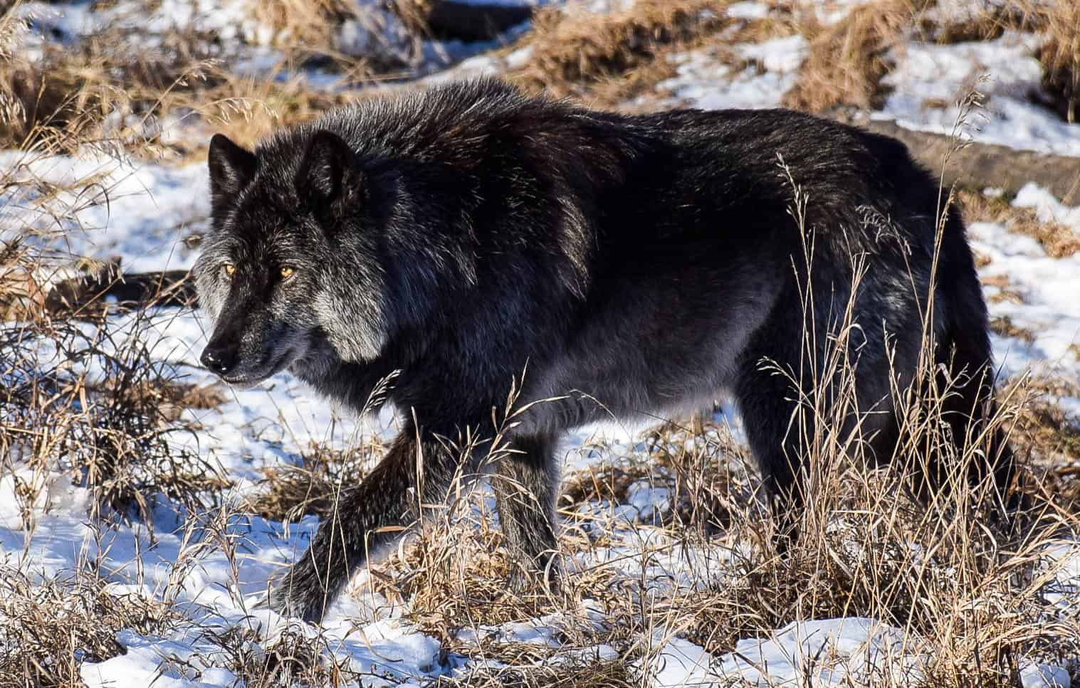 SITTING WITH WOLFDOGS: WHAT YOU NEED TO KNOW - Travel
