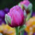 PHOTOS:  TULIPS UP CLOSE