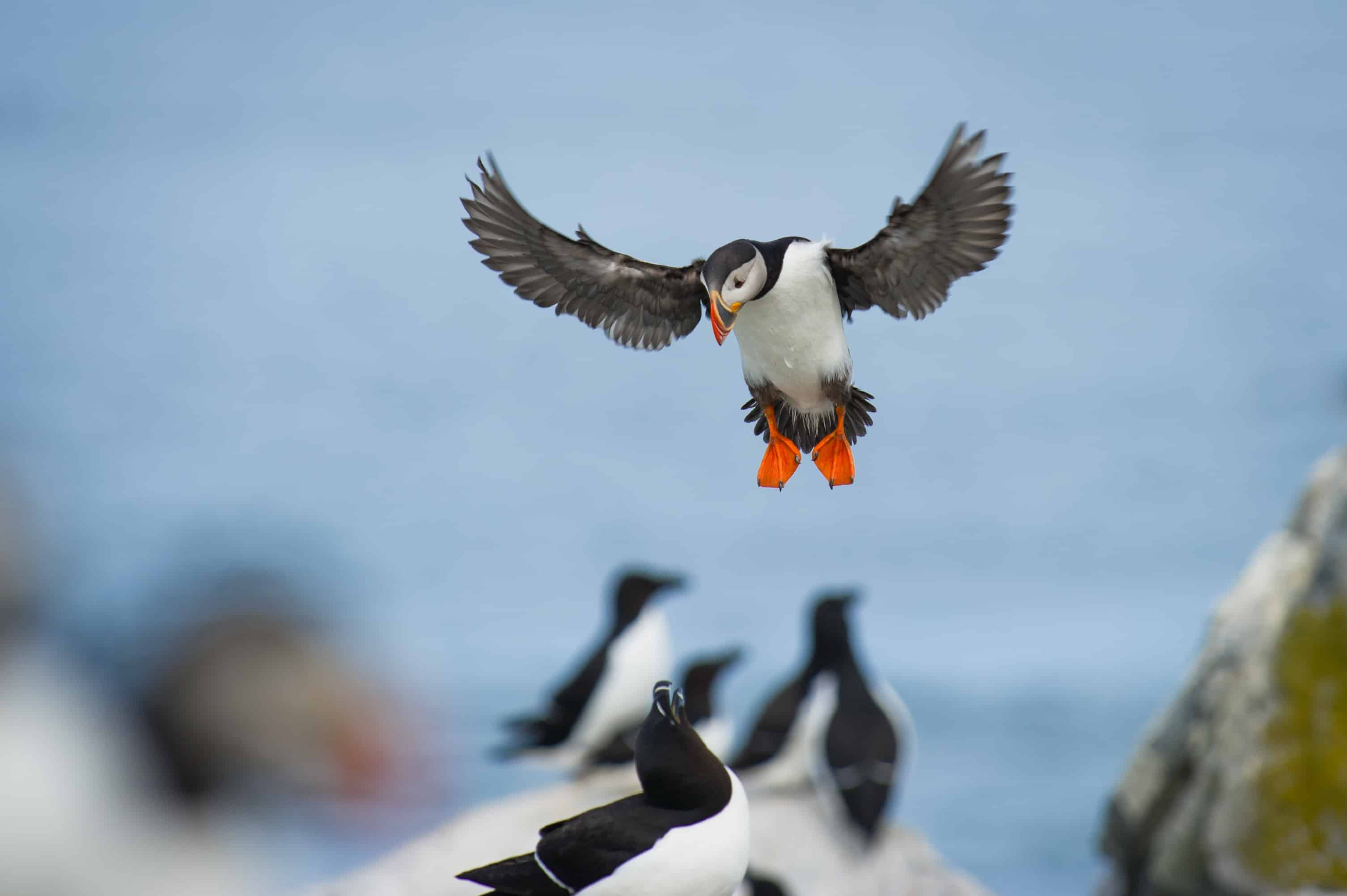 See puffins in Newfoundland